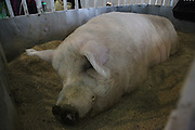 CHENGDU, CHINA - NOVEMBER 19: (CHINA OUT)<br /> <br /> 700kg Pig seen during agriculture fair<br /> <br /> More than 700kg pig is on display during an agriculture fair on November 19, 2015 in Chengdu, Sichuan Province of China. A worker said that the pig has been fed for over two years, it lives mainly on microbes and its very healthy says the owner.<br /> ©Exclusivepix Media