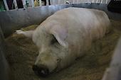 700kg Pig seen during agriculture fair