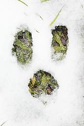 Cottontail rabbit tracks in snow, Texas Buckeye Trail, Great Trinity Forest, Dallas, Texas, USA.