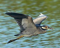 Black-crowned Night-Heron (Nycticorax nycticorax). Fort De Soto County Park. St. Petersburg, Florida. Image taken with a Nikon D3x camera and 500 mm f/4 VR lens.