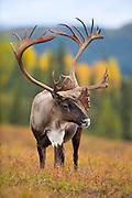 "Caribou (barren-ground), Rangifer tarandus; bull, closeup, antlers, autumn, tundra, lichens a favored food, rut occurs in October; interior Alaska bulls to 400 lbs., shoulder ht: 48""; Denali National Park, Alaska, ©Craig Brandt, all rights reserved; brandt@mtaonline.net"