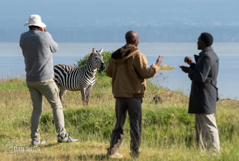 A Grant's Zebra, Equus quagga boehmi, walks past a tourist and two local guides on the shore of Lake Nakuru in Lake Nakuru National Park, Kenya