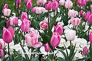 65021-029.19 Pink Tulips (Tulipa sp) and White pansies (Viola sp) MO