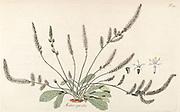 Hand painted botanical study of Statice spicata (Psylliostachys spicata) flower anatomy from Fragmenta Botanica by Nikolaus Joseph Freiherr von Jacquin or Baron Nikolaus von Jacquin (printed in Vienna in 1809)