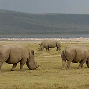 White Rhinoceros (Ceratotherium simum) Also know as the Grass Rhino. Grazing. Lake Nakuru National Park. Kenya. Africa.