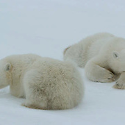 Polar Bear (Ursus maritimus) two cubs of the year waiting patiently near their mother at Cape Churchill, near Churchill, Manitoba. Waiting for the ice to freeze. November.