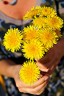 Bunch of dandelions being picked in the late spring