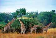 A herd ofGiraffes  in Moremi National Park , Botswana