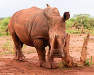 Young white rhinocerous rubs its neck on a stump, seeming to look at observer [Secret Location] David A. Ponton