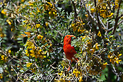i'iwi or scarlet honeycreeper, Vestiaria coccinea or Drepanis coccinea, an endemic and threatened ( Vulnerable ) species, feeding on blossoms of mamane tree, Sophora chrysophylla, also an endemic species, Haleakala National Park, Maui, Hawaii, USA ( Central Pacific Ocean )