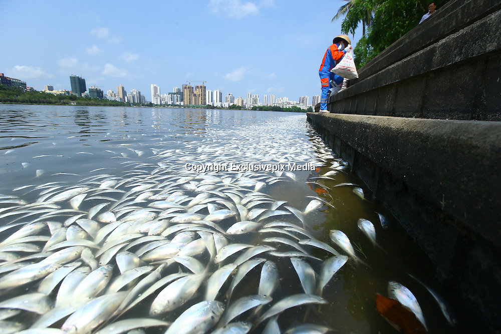 HAIKOU, CHINA - MAY 04: (CHINA OUT)<br /> <br />  Sanitation workers collect dead fish in Hongcheng Lake on May 4, 2016 in Haikou, Hainan Province of China. Mass fish were found death in Haikou\'s Hongcheng Lake on Wednesday and then there being forty sanitation workers started to salvage the dead fish in morning. By the ten o\'clock, the workers had got out of more than eight tons of dead fish. Further reasons were under investigation. <br /> ©Exclusivepix Media