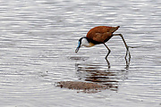 African Jacana (Actophilornis africanus) from Kruger NP, South Africa.