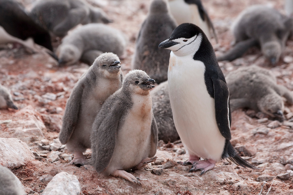 Half Moon Island, home to over 3000 pairs of chinstrap penguins, many with chicks at this time of year, late in the Antarctic summer.