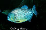 red-bellied or red piranha,<br /> Pygocentrus nattereri or<br /> Serrasalmus nattereri (c)