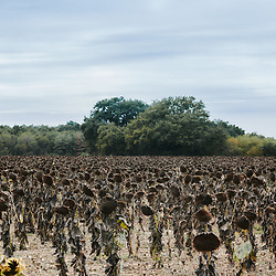 A dried sunflowers field. Dolus-le-Sec, France. October 7, 2019.