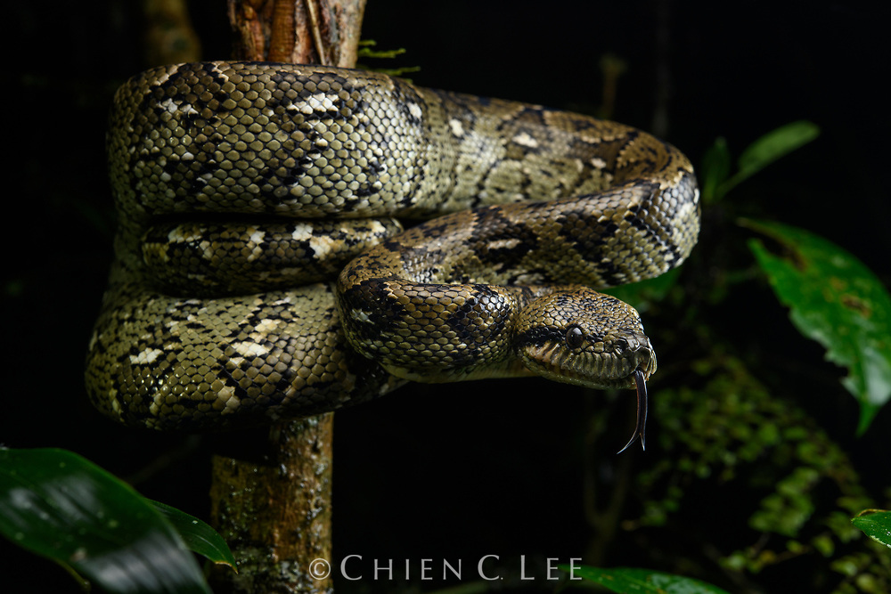 Having been isolated for over 80 million years, the unique biota of Madagascar poses many interesting questions to those who study biogeography. This Madagascar Tree Boa (Sanzinia madagascariensis) is one of four species of boas present on the island, noteworthy because by contrast the large constricting snakes of the nearest landmasses (Africa and Asia) are all pythons. Herpetologists don't yet know the answer to this enigma, but recent evidence supports one theory that boas may have existed on Madagascar in the ancient past when it was still connected to Gondwanaland. Ranomafana National Park, Madagascar.