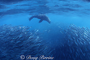 South African fur seal, Arctocephalus pusillus pusillus, feeds in a baitball of sardines, Sardinops sagax, during the annual Sardine Run up the east coast of South Africa ( Indian Ocean )