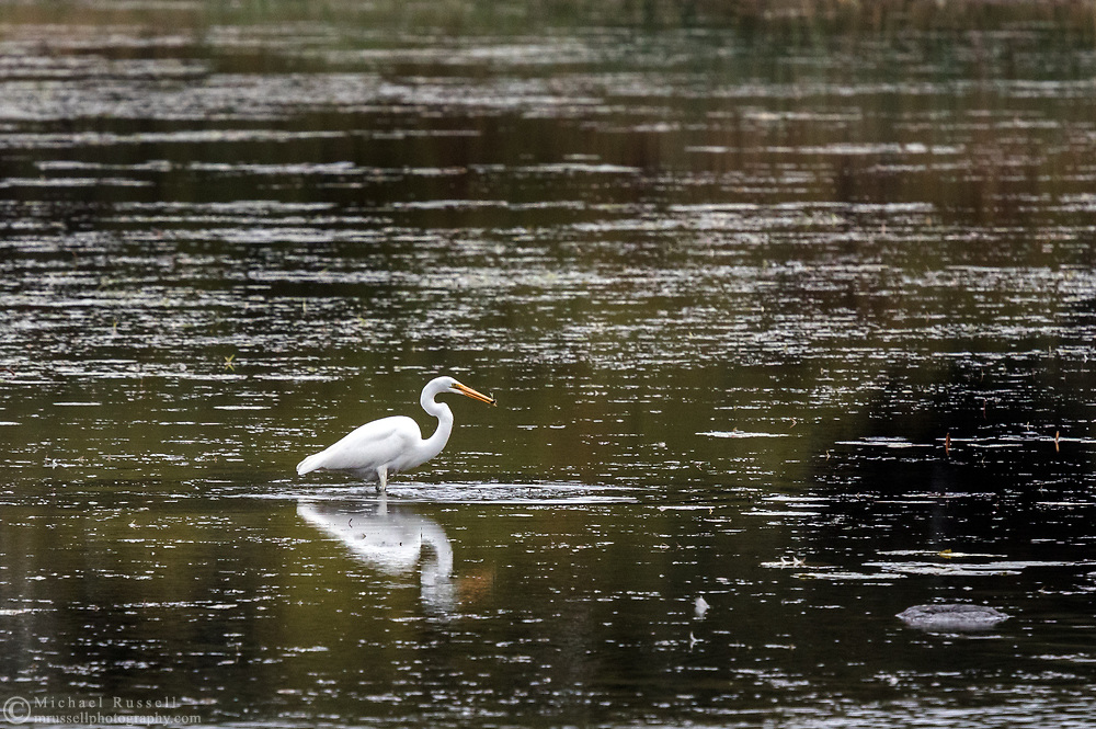 A Great Egret (Ardea alba) catching a small fish in a marsh along Lake St. Lawrence in Ontario, Canada.  Photographed from West Woodlands Island in the Parks of the St. Lawrence.  The Great Egret is also known as the Common Egret and the Large Egret.