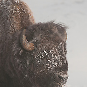 A large bull bison in Yellowstone National Park. Wyoming