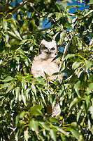 This juvenile great horned owl would have gone completely unnoticed had it not been making the most horrendous racket in a tree in Sweetwater, Wyoming as I was photographing prairie dogs.