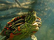 Painted Turtle, Underwater