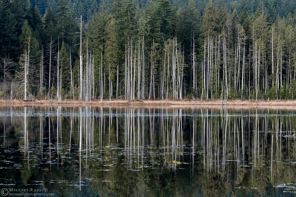 Tall snags (also known as wildlife trees) along the shoreline of Whonnock Lake at Whonnock Lake Park in Maple Ridge, British Columbia, Canada