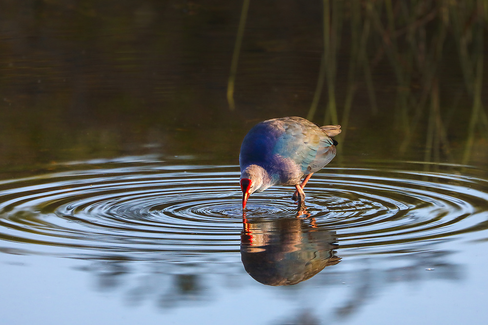 Southeast Florida bird photography from nature photographer Juergen Roth showing a Swamphen wading the waters Wakodahatchee Wetlands in Palm Beach County, FL.  <br /> <br /> Swamp hen birding photography images from the Wakodahatchee Wetlands are available as museum quality photo prints, canvas prints, wood prints, acrylic prints or metal prints. Fine art prints may be framed and matted to the individual liking and decorating needs:<br /> <br /> https://juergen-roth.pixels.com/featured/swamphen-juergen-roth.html<br /> <br /> All digital nature photo images are available for photography image licensing at www.RothGalleries.com. Please contact me direct with any questions or request.<br /> <br /> Good light and happy photo making!<br /> <br /> My best,<br /> <br /> Juergen<br /> Prints & Licensing: http://www.rothgalleries.com<br /> Instagram: https://www.instagram.com/rothgalleries<br /> Twitter: https://twitter.com/naturefineart<br /> Facebook: https://www.facebook.com/naturefineart