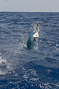 A second chance at flight for this freshly eaten flying fish.