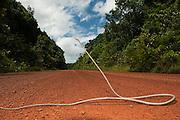 Brown Vine Snake (Oxybelis aeneus)<br /> Iwokrama Road<br /> Iwokrama Forest Reserve<br /> GUYANA<br /> South America