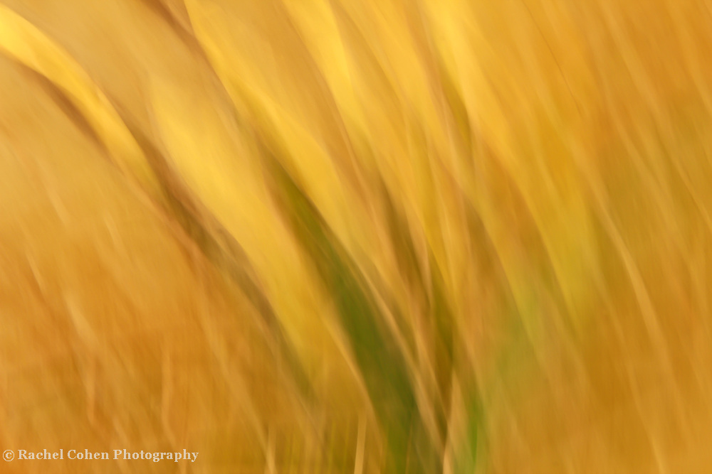 """""""Waves of Gold""""<br /> <br /> <br /> Nature Abstract by Rachel Cohen"""