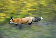 Red fox running, blur-pan style, autumn foliage, Idaho, © David A. Ponton