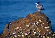Oceania, Australia, Tasmania, Greater crested tern, Thalasseus bergii