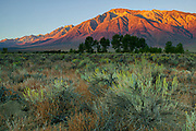 The first light of day turns the eastern face of Mount Tom golden in the Owens Valley near Bishop, California. Mount Tom, with an elevation of 13,658 feet (4,163 meters), is the 12th tallest mountain in California. It is in the Sierra Nevada mountain range and part of the John Muir Wilderness.