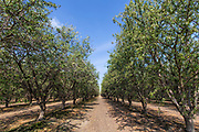 Almond Orchard, Tulare County, San Joaquin Valley, California, USA