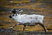 A male Svalbard reindeer (Rangifer tarandus platyrhynchus) running, sideview  Svalbard, Norway