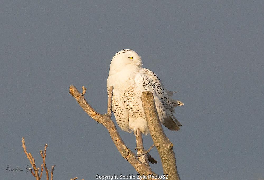 Snowy Owl Perch