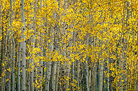 A wall of aspen trees glows golden yellow in the early morning sunlight.