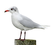 Mediterranean Gull - Larus melanocephalus. L 36-38cm. Similar to Black-headed but has stouter bill; adult has uniformly pale wings. Sexes are similar. Adult in summer has pale grey back and wing coverts, and white flight feathers. Note black hood and white 'eyelids'; bill is mainly red, with yellow tip and black sub-terminal band. Legs are deep red. In winter, loses dark hood; whitish head has menacing look created by dark smudges. Juvenile has grey-brown upperparts with pale margins to back feathers. Note darkish flush on breast. Bill and legs are dark; tail has dark terminal band. 1st winter bird is similar to juvenile but with plain grey back and dark smudges on head. Adult plumage is acquired by 3rd winter. 2nd year bird resembles adult (at respective times of year) but with variable black in wingtips. Voice Utters cow-cow-cow call. Status Very locally common, usually with Black-headeds. Small numbers nest in S England. More widespread outside breeding season.