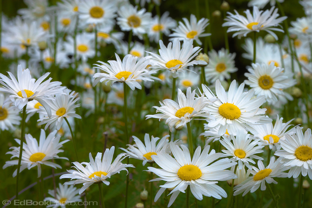 Daisies blooming (Bellis perennis) in a meadow on Green Mountain on the Kitsap Peninsula in Puget Sound, Washington state, USA