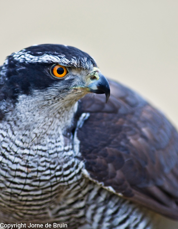a  close-up portait of a Goshawk in the Cairngorms National Park in Scotland