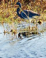 Tricolored Heron (Egretta tricolor). Black Point Wildlife Drive, Merritt Island Wildlife Refuge. Merritt Island, Brevard County, Florida. Image taken with a Nikon D3 camera and 80-400 mm VR lens.
