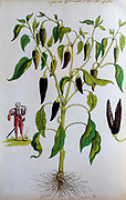 Historical illustration of a Capsicum annuum (Red Pepper) plant from the Americas with a small missionary depicted. Published c. 1540 in codex Amphibiorum
