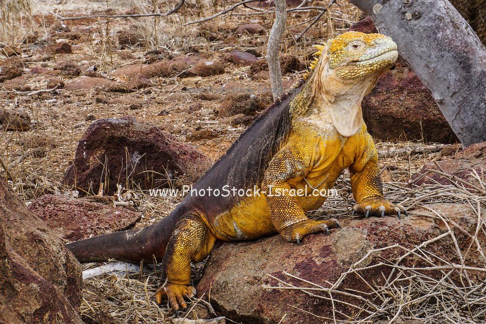 Land iguana (Conolophus subcristatus) Photographed in the Galapagos Island, Ecuador