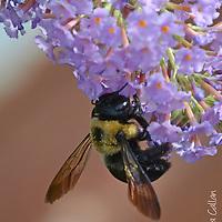 Carpenter Bee on Butterfly Bush