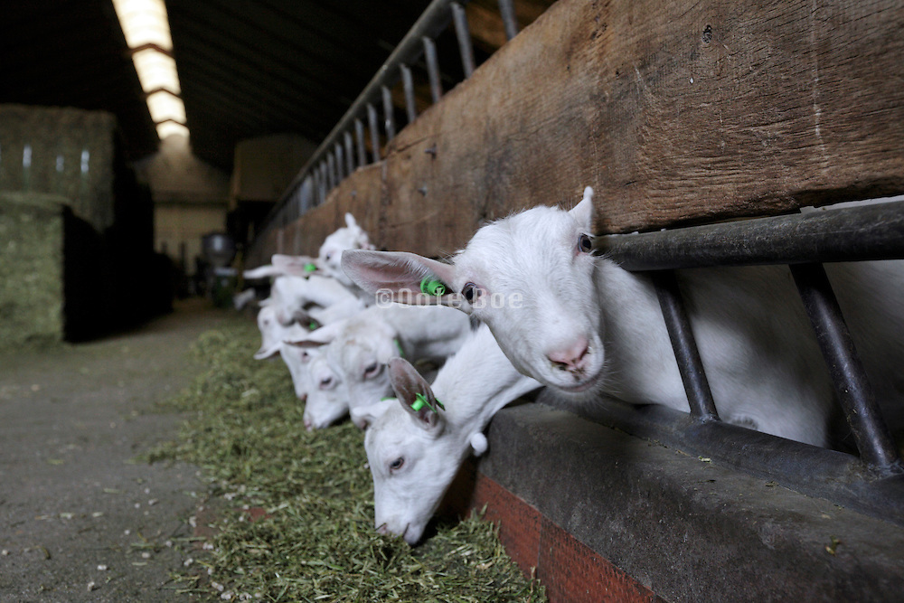 large stable at a biologic goat farm Holland