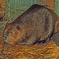 A beaver rests in a boathouse near Kenora in Lake of the Woods, Ontario, Canada.