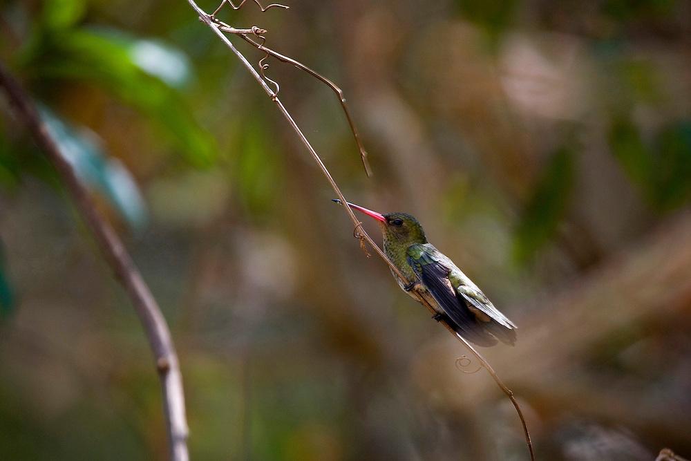 Sao Jose do Rio Preto_SP, Brasil...Programa Biota da Unesp, na foto um beija-flor...The Biota program of Unesp, in this photo a  hummingbird.. .Foto: JOAO MARCOS ROSA / NITRO