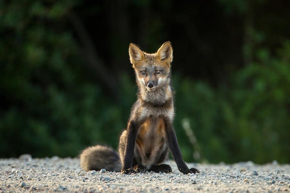 Canada, Manitoba, Gillam, Red Fox (Vulpes vulpes) sitting on gravel road along Nelson River