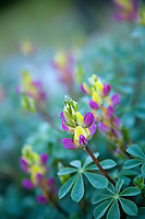 Close up of Lupine flowers along the Tuolumne River in the Sierra Nevadas, CA.