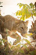 Lioness in South Luangwa National Park, Zambia